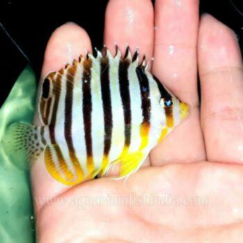 Multibar Angelfish