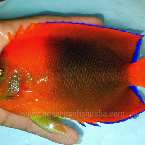 Large Clarion Angelfish