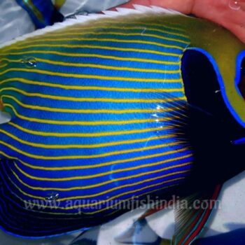 Large Emperor Angelfish