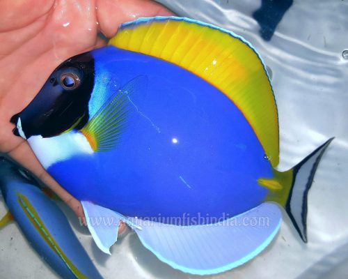 Powder Blue Tangfish