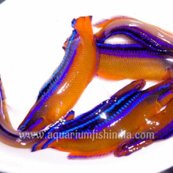 Arabian Blue Lined Dottyback