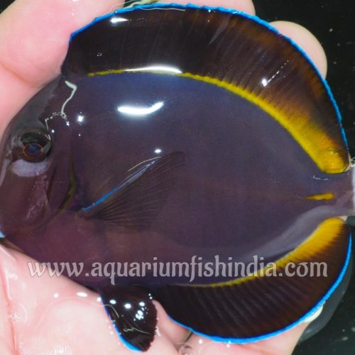 Powder Black Tangfish