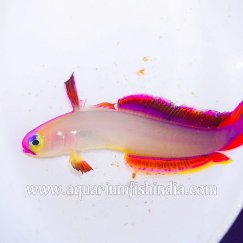 Flame Goby Fish