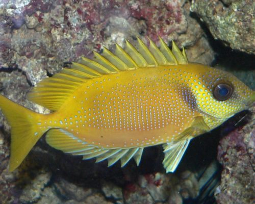 Blue Spotted Rabbitfish