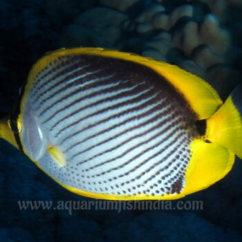 Black Back Butterflyfish