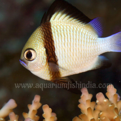 Cloudy Damselfish