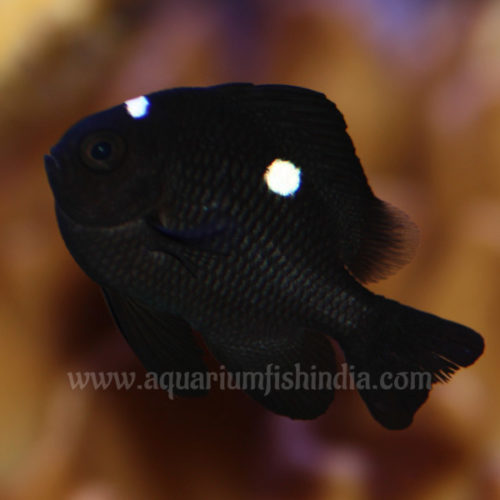 Three Spot Domino Damselfish