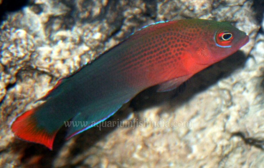 Dilectis-Dottyback.jpg
