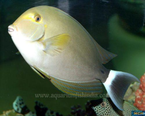 Mata Tang Fish