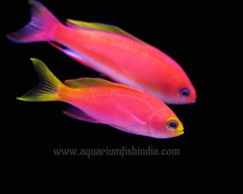 Red Anthias fish