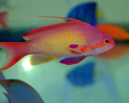 Scalefin Anthias (Male)