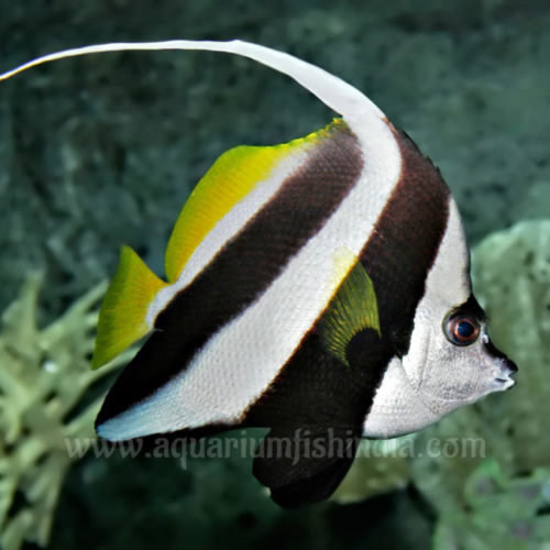 Wimple Butterfly fish