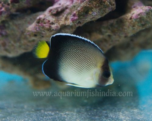 Smoke Angelfish