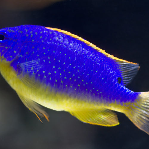 Fiji Blue Devil Damselfish