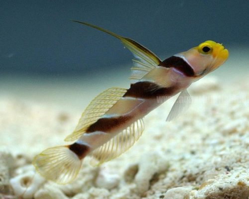 Filament-finned prawn goby