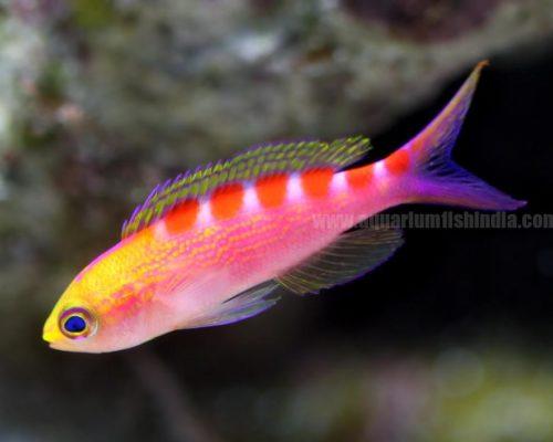 Red stripe Lori Antias