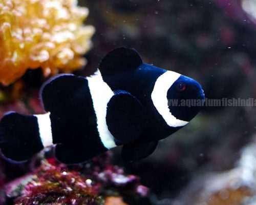 Black Negro Clownfish