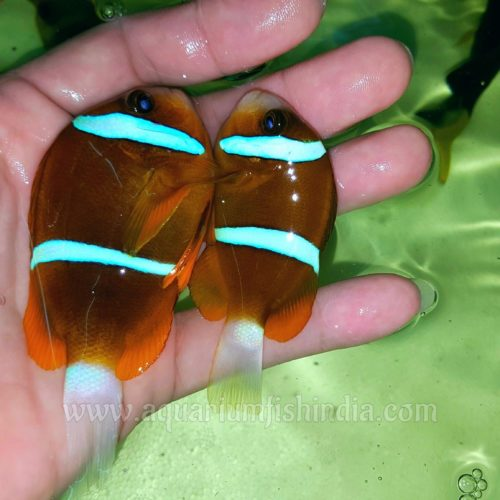 Two Banded Clownfish