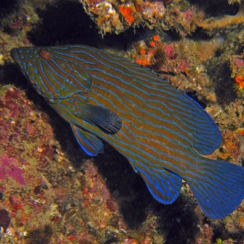 Blue Line Grouper