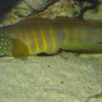 Bluespotted Watchman Goby