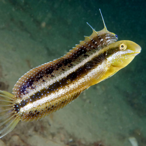 Sabre-toothed blenny Fish