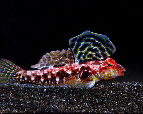 Red Scooter Goby