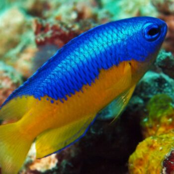 Blue Yellow Belly Damsel