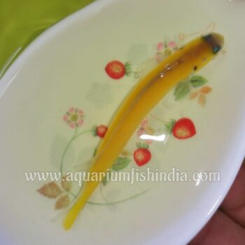 Yellow Tilefish (Colour Changing Fish)