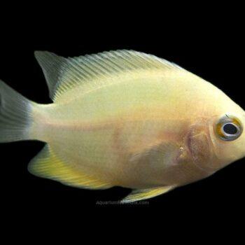 Golden Severum Cichlid