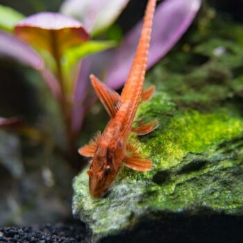 Red Lizard Whiptail