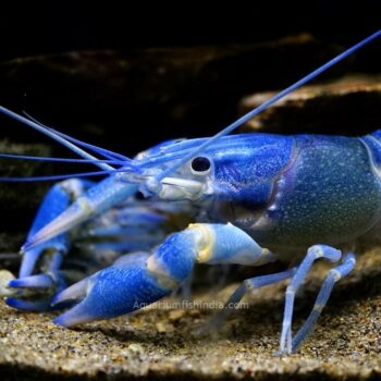 Freshwater Red Lobster
