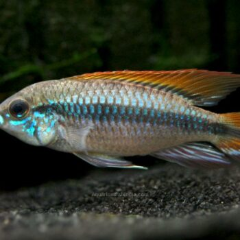 Double Full Red Agassizi Cichlid
