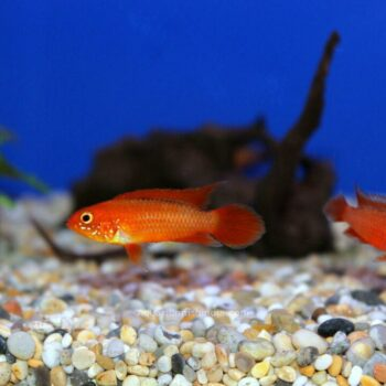 Dwarf Agassizii Flame Red