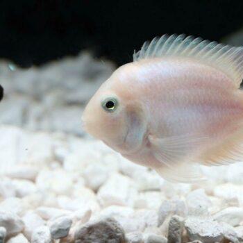 Platinum Parrot Fish