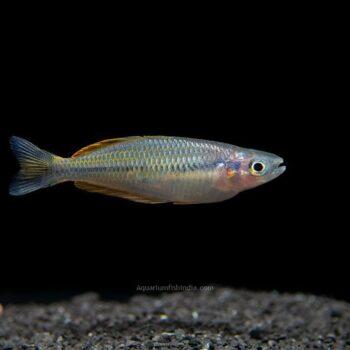 Ajamaru Lakes Rainbowfish