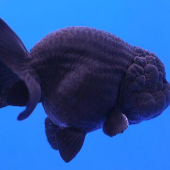 Ranchu Black Goldfish