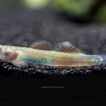 Blue Belly Red Goby
