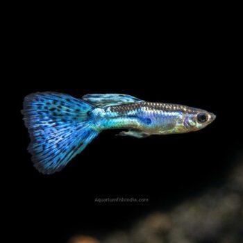 Blue Grass Tail Guppy