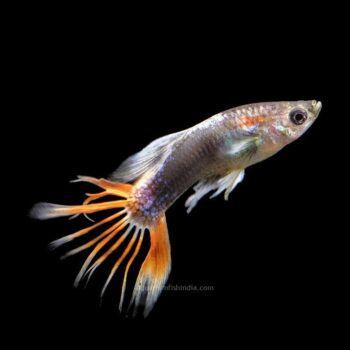 Crowntail Guppy