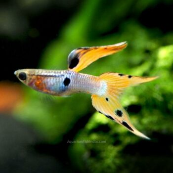 Japan Blue Red Double Sword Guppy