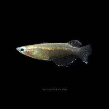 Javanese Ricefish