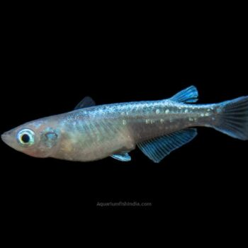 Blue Miyuki Medaka Ricefish