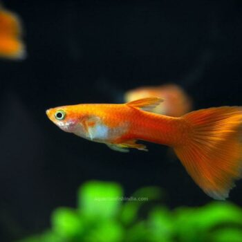 Red Moscow Guppy