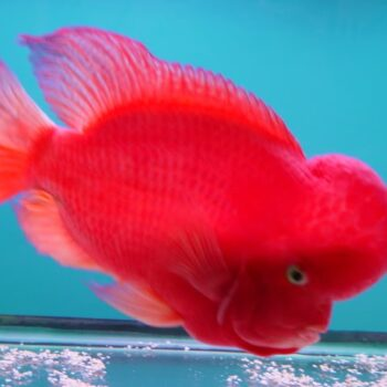 Super Red Monkey Flowerhorn